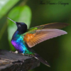 Hummingbird beautyComunidade Flores Passaros e Paisagens11954816_1135173546497317_1026481346296865177_n-1